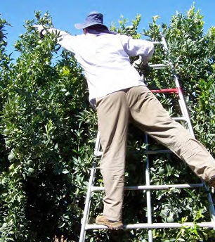 Man displaying the incorrect method of picking fruit whilst using a bow ladder.
